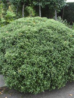 Pittosporum tenuifolium Golf ball - Pittosporum à petites feuilles
