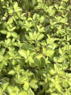 Pittosporum à petites feuilles 'Golf Star'