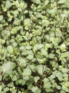 Pittosporum à petites feuilles 'Green Elf'