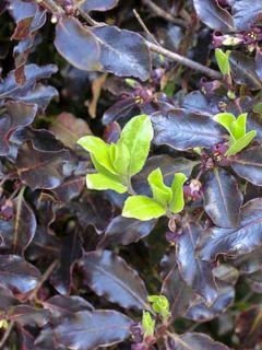 Pittosporum à petites feuilles 'Purpureum'