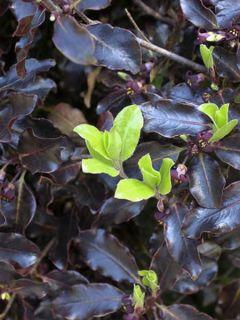 Pittosporum tenuifolium Tom Thumb - Pittosporum à petites feuilles