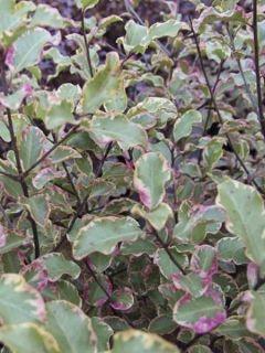 Pittosporum à petites feuilles 'Victoria'