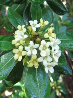 Pittosporum tobira - Pittospore du Japon