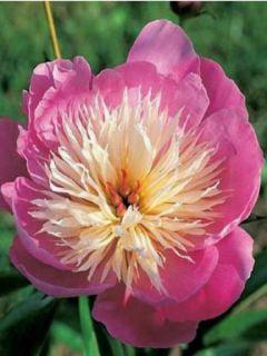 Pivoine de Chine 'Bowl of Beauty'