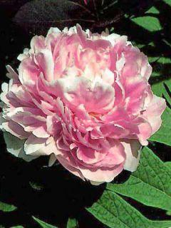Pivoine lactiflora hybride Sarah Bernhardt en souche