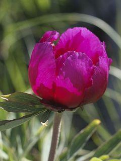 Pivoine botanique - Paeonia humilis