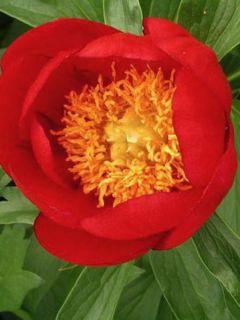Pivoine botanique - Paeonia peregrina