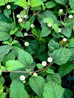 Verveine Sucrante - Lippia dulcis - Herbe à sucre des Aztèques