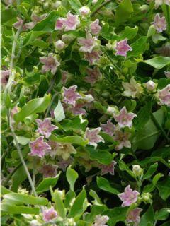 Plante cruelle, Araujia porte soie, kapok 'Rosea'