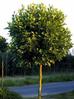 Platanus acerifolia Alphen's Globe - Platane boule
