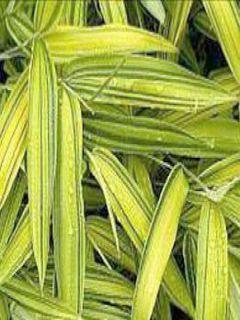 Pleioblastus viridistriatus Vagans - Bambou nain