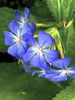 Ceratostigma willmotianum Forest Blue - Plumbago de Willmott
