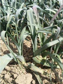 Poireau d'hiver de Saint-Victor - Allium porrum