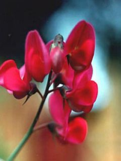 Lathyrus latifolius Red Pearl - Gesse à larges feuilles