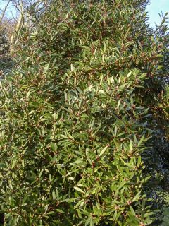 Poivre de Tasmanie - Drimys aromatica