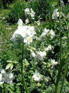 Polemonium caeruleum Album - Valériane grecque blanche
