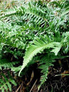 Polypodium vulgare - Fougère - Polypode commun