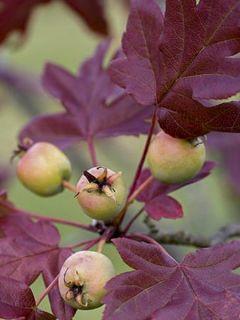 Pommier à feuilles trilobées