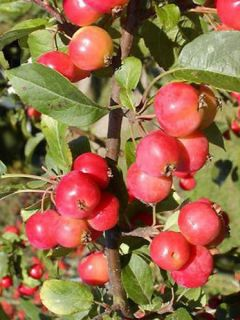 Pommier d'ornement - Malus Red Sentinel