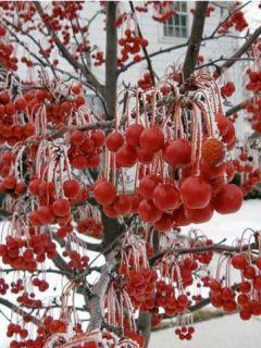 Pommier 'Red Jewel'