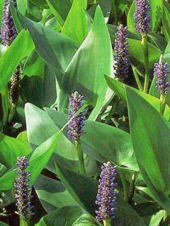 Pontederia cordata - Pontédérie à feuille en coeur