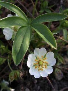 Potentilla alba - Potentille blanche