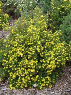 Potentilla fruticosa Goldfinger - Potentille arbustive.