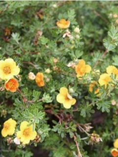 Potentille arbustive 'Hopley's Orange'