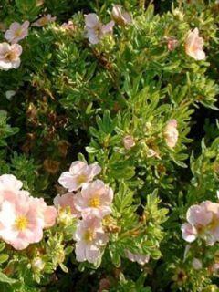 Potentilla fruticosa  Lovely Pink - Potentille arbustive.