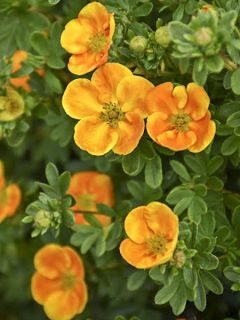 Potentille arbustive 'Mandarin Tango '