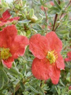 Potentille arbustive 'Marion Red Robin'