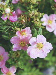 Potentille arbustive 'Pink Beauty'