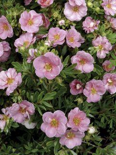 Potentille fruticosa Pink Paradise