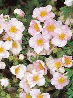 Potentille Fruticosa Princess Pink Queen