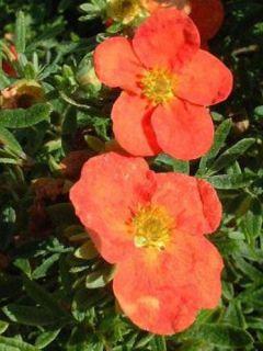 Potentilla fruticosa Red Ace - Potentille arbustive