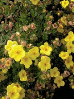 Potentille arbustive 'Sommerflor'