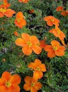 Potentilla hybride Orange - Potentille vivace orange.