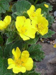 Potentilla megalantha - Potentille à grandes fleurs