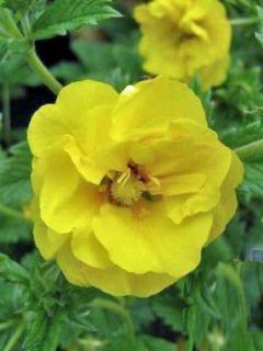 Potentille vivace - Potentilla Yellow Queen