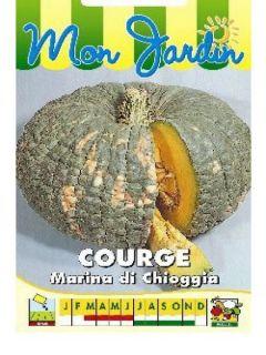 Potiron Marina Di Chioggia - Courge - Cucurbita maxima