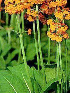 Primevère candélabre - Primula bulleyana