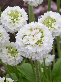 Primevère - Primula denticulata Alba