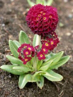 Primevère - Primula denticulata Rubin