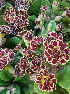 Primevère hybride Elizabeth Killelay - Primula hybrida