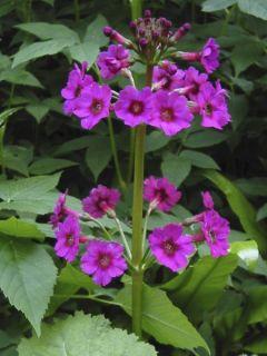 Primevère, Primula japonica