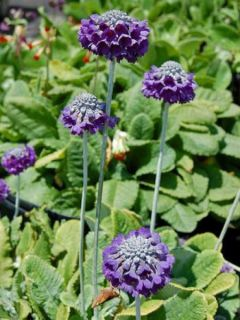 Primevère de l'Himalaya, Primula Capitata mooreana