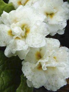 Primevère Mr Brouart - Primula hybrida