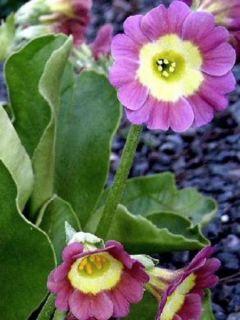 Auricule des jardins - Primula x pubescens