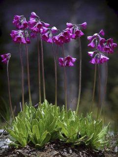 Primevère - Primula secundiflora