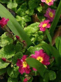 Primula juliae Ideaal - Primevère du Caucase.